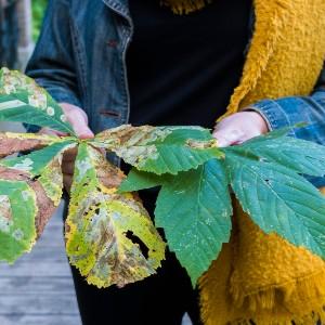 houtmoed kastanjeblad