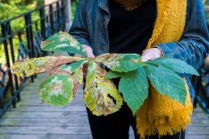 Houtmoed bladeren